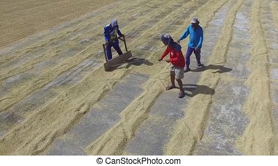 Unidentifiable men worker raking and spreading rice palay grains to dry. Drone Aerial