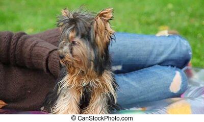 unidentified woman stroking Yorkshire terrier, green grass...