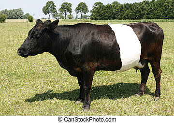 uniek, lakenvelder, koe, hollandse