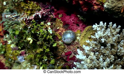 Unique black pearl on the seabed close up underwater of nature Philippines.