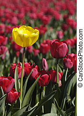 Unique - single yellow tulip among red