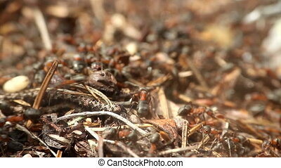 Universal vanity - anthill closeup - Red forest ants are...