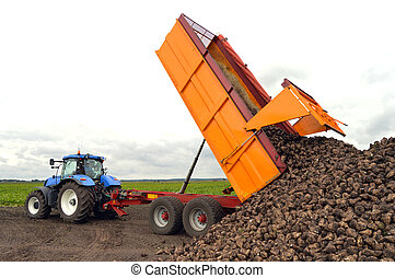 Tractor and trailer unload sugar beets - A sugar beet harvest in progress