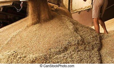Unloading grain from truck trailer. Flowing out grain,...