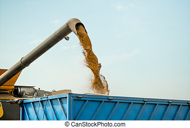 Unloading grains into truck by unloading auger. Ripe wheat grain falling from combine auger into cart. Wheat harvesting on field in summer season. Process of gathering crop by agricultural machinery