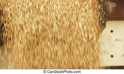 Unloading wheat grain, slow motion. Close up yellow corn...