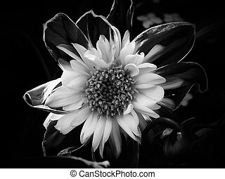 uno, fiore, in, nero bianco