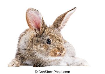 uno, giovane, accenda marrone, conigli, con, orecchi lunghi, standing, isolato, bianco