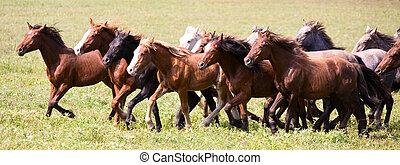 uno, gregge, di, giovane, cavalli