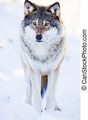 uno, lobo, estantes, en, hermoso, invierno, bosque