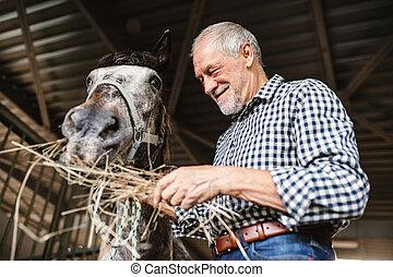 uno, primo piano, di, uno, uomo senior, alimentazione, uno, cavallo, fieno, in, uno, stable.