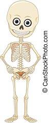 uno, scheletro umano, bianco, fondo