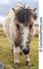 uno, selvatico, dartmoor, pony