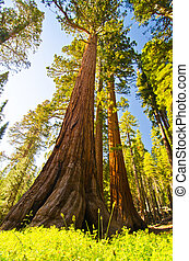 uno, sequoia gigante, a, yosemite parco nazionale