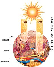 Unprotected skin without sunscreen lotion, UVB and UVA rays penetrates into the skin