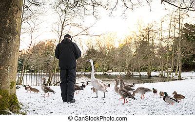 Unrecognisable senior man feeding wild birds , snow covered...