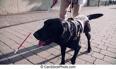 A midsection of unrecognizable blind man with guide dog outdoors in city, walking. Slow motion.