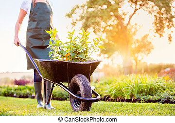 Unrecognizable gardener in green apron carrying seedlings in wheelbarrow, sunny summer nature, sunset