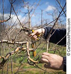 unrecognizable, homem, poda, maçã, árvores, em, um, pomar,...