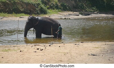 Unrecognizable mahout man washing elephant in river. A large...