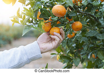 Unrecognizable person picking oranges from the trees.
