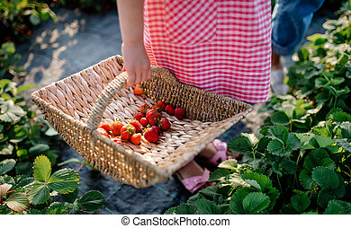 Unrecognizable small girl picking strawberries on the farm.