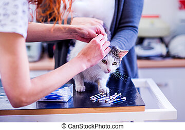 Unrecognizable veterinarian cleaning ears of a cat with cotton buds. Woman in white uniform working at Veterinary clinic.