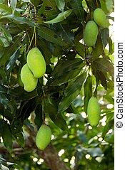 unreif, baum, mangoes