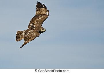unreif, roter tailed habicht, fliegendes, in, a, blauer himmel