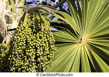 Green unripe acai berries and palm frond