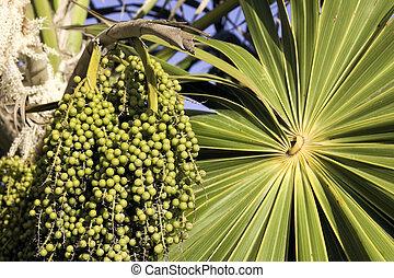 Unripe acai berries - Green unripe acai berries and palm...