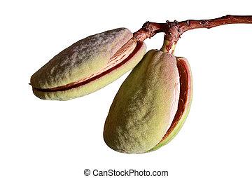 Unripe almonds on a twig