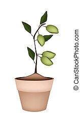 Unripe Almonds on Tree in Ceramic Flower Pots - Fresh Green...