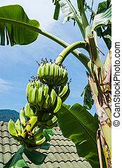 Unripe bananas on a branch