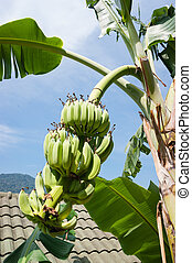 Unripe bananas on a branch in Thailand