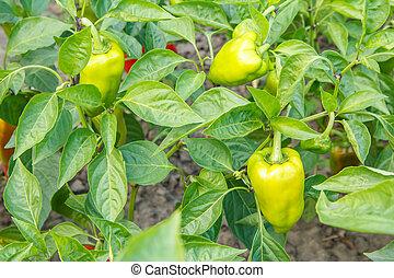 Unripe bell pepper growing on bush in the garden