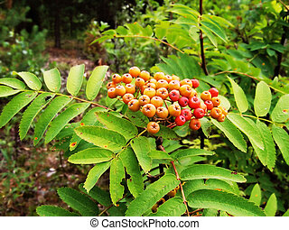 unripe berries of a mountain ash