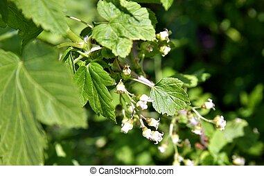 unripe berries of black currant in the garden, closeup