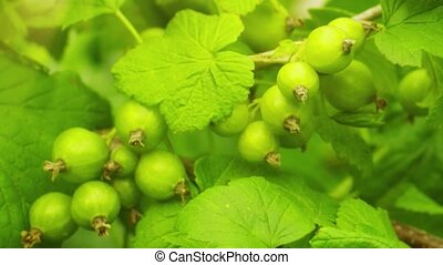 Unripe berries of black currant on bushes. FullHD stock ...