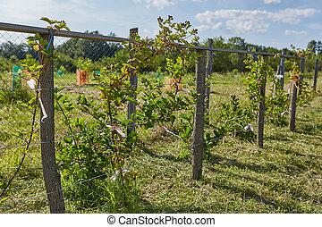 Unripe blackberries in the garden