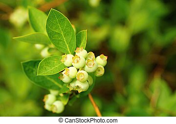 Unripe little green blueberry bushes in the garden