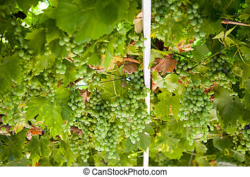 unripe bunches of grapes and leaves in the morning sun