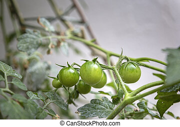 Unripe cherry tomatoes organic home growing, species Solanum...