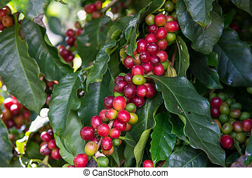 Unripe Coffee beans on tree