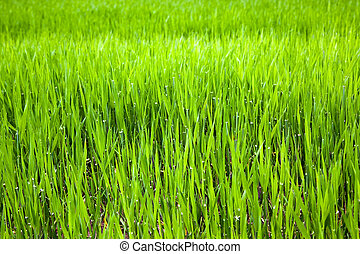 Unripe ear of barley - Agricultural field on which recently ...