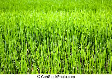 Unripe ear of barley