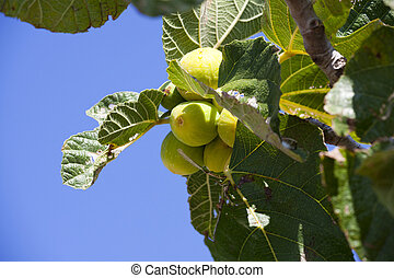 Unripe figs on the tree in southern France