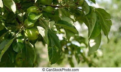 Unripe green apples hanging on an apple tree.