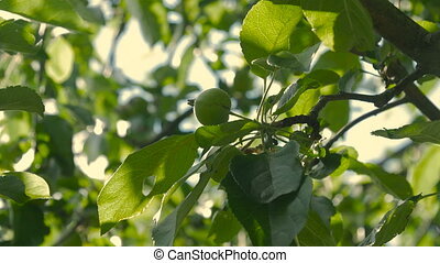 Unripe green apples hanging on an apple tree. - Unripe green...