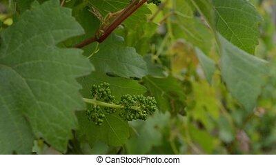 Unripe Green Grape